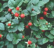 Strawberries normal